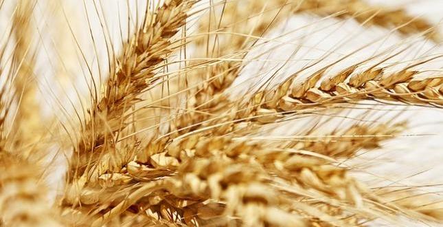 épi jaune blé